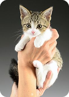 Domestic Shorthair Kitten for adoption in Cincinnati, Ohio - Scooby