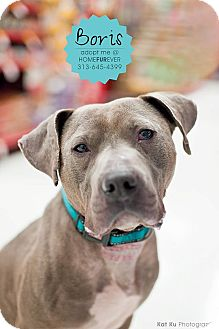 American Pit Bull Terrier Mix Dog for adoption in Detroit, Michigan - Boris-Adopted!