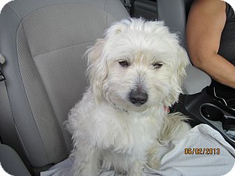 Wheaten Terrier/Terrier (Unknown Type, Small) Mix Dog for adoption in Culver City, California - Buddy II