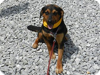 Beagle/English Shepherd Mix Dog for adoption in Lawrenceburg, Tennessee - Cassy