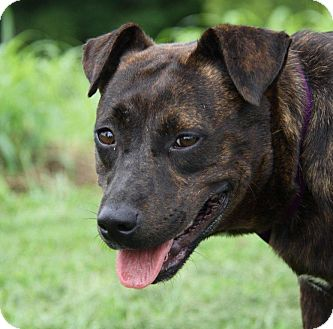 American Staffordshire Terrier Mix Dog for adoption in Orland Park, Illinois - Sugar