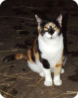 Domestic Shorthair Cat for adoption in Morgantown, West Virginia - Shi