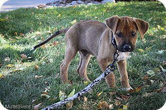 Shepherd (Unknown Type)/Boxer Mix Puppy for adoption in Broomfield, Colorado - Phil
