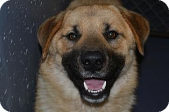 Chow Chow Mix Dog for adoption in Edwardsville, Illinois - Teddy