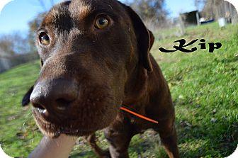 Labrador Retriever Dog for adoption in Texarkana, Arkansas - Kip