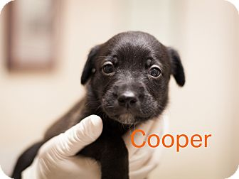 Border Collie Mix Puppy for adoption in Dallas, Texas - Cooper
