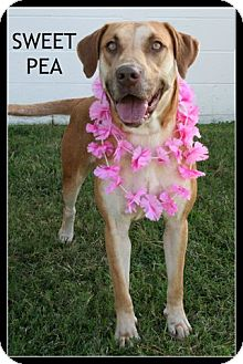 Labrador Retriever/Plott Hound Mix Dog for adoption in Houston, Texas - Sweet Pea