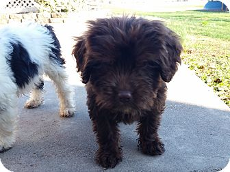 Shih Tzu/Terrier (Unknown Type, Small) Mix Puppy for adoption in New Oxford, Pennsylvania - Coal