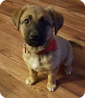 Shepherd (Unknown Type)/Retriever (Unknown Type) Mix Puppy for adoption in Regina, Saskatchewan - Adoption Pending - Wanda