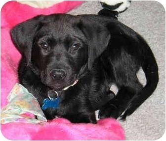 Labrador Retriever Mix Puppy for adoption in Overland Park, Kansas - Rufus