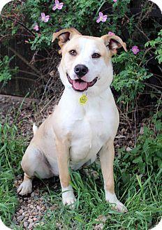 Labrador Retriever Mix Dog for adoption in Westminster, Colorado - BRIDGET