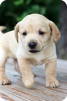 Beagle/Terrier (Unknown Type, Small) Mix Puppy for adoption in Waldorf, Maryland - Brutus