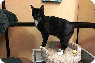 Domestic Shorthair Cat for adoption in Riverside, California - Roxanne