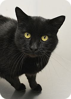 Domestic Shorthair Cat for adoption in Springfield, Illinois - Teddy
