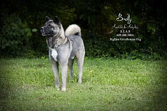 Akita Dog for adoption in Toms River, New Jersey - Brolly Bear