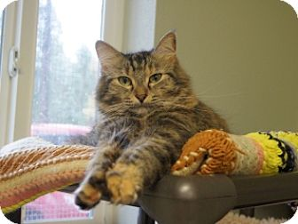 Domestic Shorthair Cat for adoption in Libby, Montana - Daisy