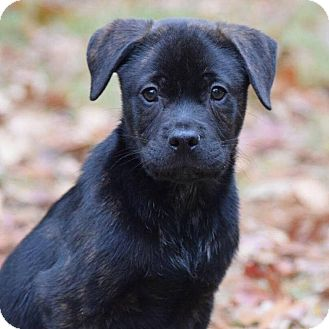Bernese Mountain Dog/Catahoula Leopard Dog Mix Puppy for adoption in CUMMING, Georgia - Hawkeye