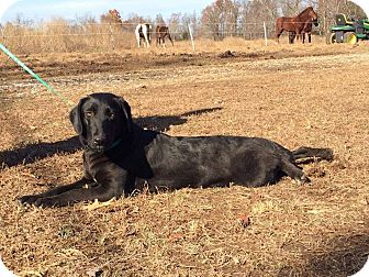 Labrador Retriever/Border Collie Mix Dog for adoption in parissipany, New Jersey - JIJI