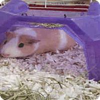 Adopt A Pet :: *Urgent* Lemony - Fullerton, CA