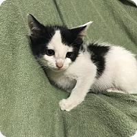 Turkish Van Kitten for adoption in Dallas, Texas - Domino