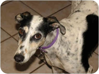 Greyhound Dog for adoption in Albuquerque, New Mexico - Patch