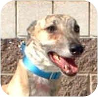 Greyhound Dog for adoption in Tampa, Florida - Ace