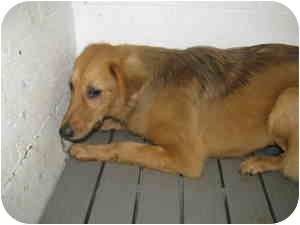 Golden Retriever Mix Dog for adoption in Windham, New Hampshire - Cutie