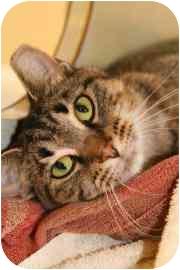 Domestic Shorthair Cat for adoption in Walker, Michigan - Debbie