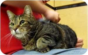 Domestic Shorthair Cat for adoption in Colmar, Pennsylvania - Dustin