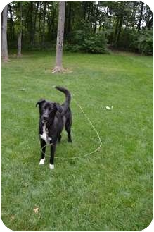 Labrador Retriever/Anatolian Shepherd Mix Dog for adoption in Salem, Massachusetts - Chase