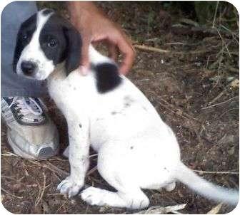 Treeing Walker Coonhound/Hound (Unknown Type) Mix Puppy for adoption in Staunton, Virginia - Mercedes