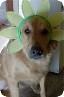 Golden Retriever Dog for adoption in Roanoke, Virginia - Daisy