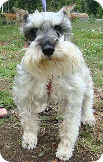 Schnauzer (Miniature) Dog for adoption in Harrisonburg, Virginia - Bo