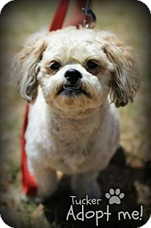 Bichon Frise/Shih Tzu Mix Dog for adoption in mishawaka, Indiana - Tucker