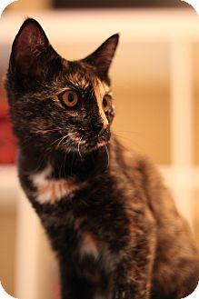 Domestic Shorthair Cat for adoption in Edmond, Oklahoma - Brin