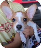 Terrier (Unknown Type, Small) Mix Puppy for adoption in Las Vegas, Nevada - Buffle-N***
