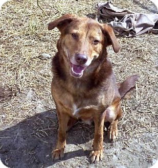 Labrador Retriever/Doberman Pinscher Mix Dog for adoption in Laval, Quebec - Lucky