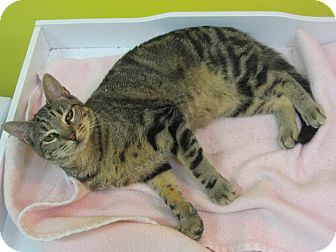Domestic Shorthair Cat for adoption in Mobile, Alabama - Tabitha