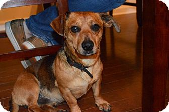 Dachshund Dog for adoption in Raleigh, North Carolina - Sam