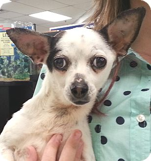 Chihuahua Dog for adoption in Orlando, Florida - Sable