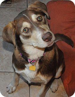 Husky/Australian Shepherd Mix Dog for adoption in Homewood, Alabama - Honey