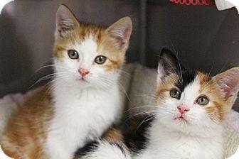 Domestic Shorthair Kitten for adoption in Medfield, Massachusetts - George