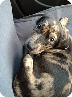 Catahoula Leopard Dog Mix Puppy for adoption in Jarrettsville, Maryland - Sabrina (courtesy post)