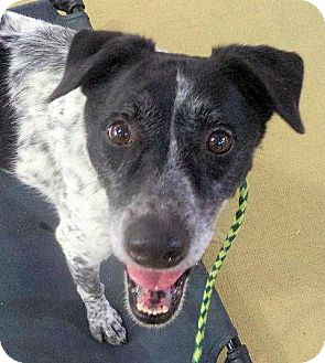 German Shorthaired Pointer/Border Collie Mix Dog for adoption in Bergheim, Texas - Hunter