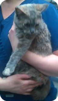 Domestic Shorthair Cat for adoption in Covington, Kentucky - Copper