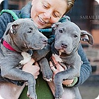 Adopt A Pet :: Parvo Survivors! - Reisterstown, MD
