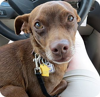 Chihuahua/Miniature Pinscher Mix Dog for adoption in Schenectady, New York - Murdock