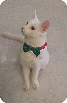 Domestic Shorthair Cat for adoption in Gilbert, Arizona - Jadite