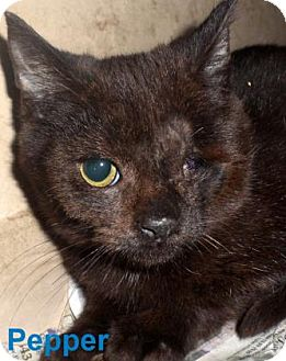 Domestic Shorthair Kitten for adoption in Georgetown, South Carolina - Pepper