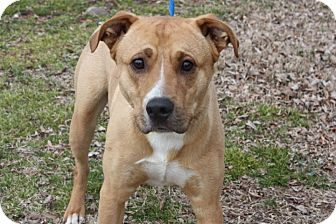 Labrador Retriever/American Staffordshire Terrier Mix Dog for adoption in Conway, Arkansas - Red Bull